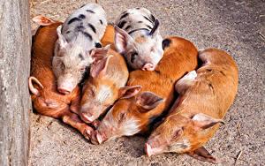 Hintergrundbilder Hausschwein Jungtiere Suidae Tiere