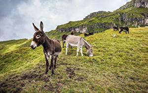 Hintergrundbilder Esel Gebirge Gras Tiere