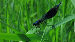 Hintergrundbilder Libellen Hautnah Gras Calopteryx virgo ein Tier