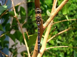 Fotos Libellen Hautnah Insekten Ast ein Tier
