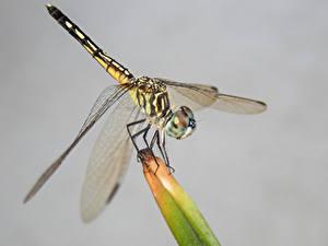 Bilder Libellen Großansicht Insekten Grauer Hintergrund Tiere