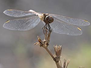 Bilder Libellen Großansicht Flügel Tiere