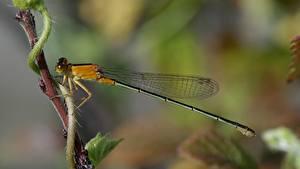 Fotos Libellen Insekten Großansicht ein Tier
