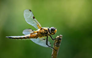 Images Dragonflies Insects Closeup dragonfly Animals