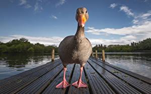 Bilder Entenvögel Flusse Schnabel ein Tier