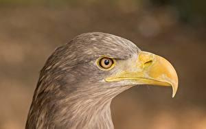 Fotos Adler Hautnah Vögel Kopf Seitlich Unscharfer Hintergrund Schnabel ein Tier
