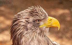 Tapety na pulpit Aquila Zbliżenie Ptak Głowa Widok z boku Dziób White-tailed eagle Zwierzęta