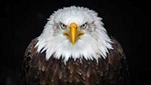 Fotos Adler Unzufrieden Schnabel Starren Schwarzer Hintergrund Tiere