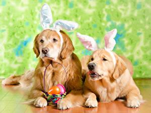 Desktop hintergrundbilder Ostern Golden Retriever Hund 2 Weidenkorb Ei Hasenohren Tiere
