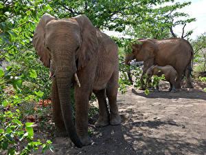 Hintergrundbilder Elefanten Jungtiere Drei 3