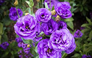 Bilder Lisianthus Nahaufnahme Violett Blumen
