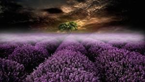 Bilder Abend Acker Lavendel Nebel Natur