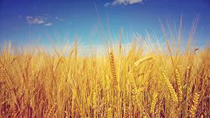Bilder Felder Spitzen Barley