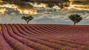 Bilder Acker Lavendel Bäume Wolke Natur