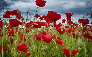 Hintergrundbilder Felder Mohn Großansicht Knospe Blüte
