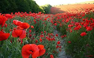 Hintergrundbilder Acker Mohn Viel Natur Blumen