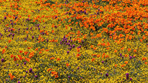 Bilder Acker Mohnblumen Hahnenfuß Lancaster Blumen