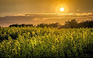 Fotos Acker Raps Sonnenaufgänge und Sonnenuntergänge Himmel Sonne Natur