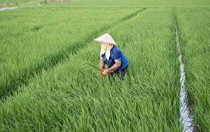 Hintergrundbilder Felder Reis Arbeit Der Hut Vietnamese