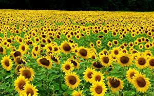 Bilder Acker Sonnenblumen Viel Gelb Blumen