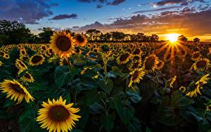 Hintergrundbilder Felder Sonnenblumen Sonnenaufgänge und Sonnenuntergänge Lichtstrahl Sonne