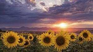 Fotos Felder Morgendämmerung und Sonnenuntergang Sonnenblumen Wolke Blüte