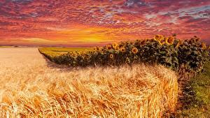 Fotos Felder Morgendämmerung und Sonnenuntergang Sonnenblumen Weizen
