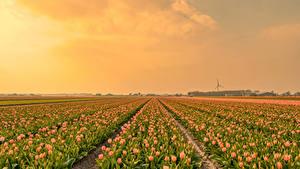 Fotos Acker Tulpen Viel Blüte