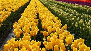 Fotos Felder Tulpen Gelb Blumen