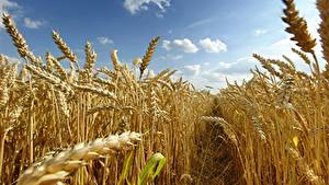 Hintergrundbilder Acker Weizen Spitzen Weg