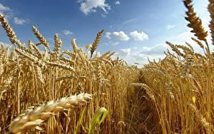 Hintergrundbilder Acker Weizen Spitzen Weg Natur