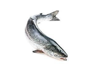 Fotos Fische - Lebensmittel Lachs Weißer hintergrund Atlantic salmon ein Tier