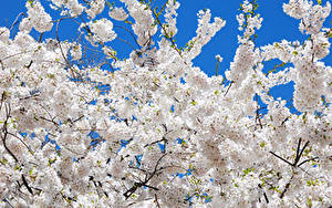 Pictures Flowering trees Branches White Sakura Flowers