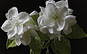 Fotos Blühende Bäume Großansicht Schwarzer Hintergrund 2 Weiß Jasminum Blumen
