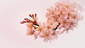 Fotos Blühende Bäume Frühling Ast Japanische Kirschblüte Natur