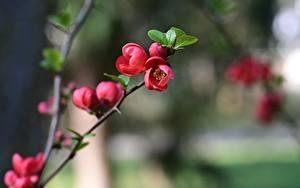 Bilder Blühende Bäume Bokeh Rosa Farbe Ast quince tree Blumen