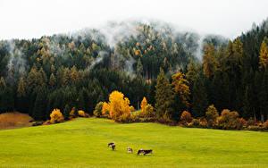 Bilder Wald Herbst Grünland Kuh Nebel