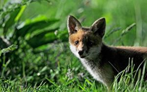 Bilder Füchse Jungtiere Gras