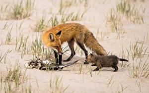 Fotos Füchse Jungtiere Sand