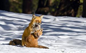 Hintergrundbilder Füchse Jungtiere Schnee Zwei