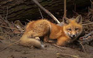 Desktop hintergrundbilder Füchse Blick ein Tier