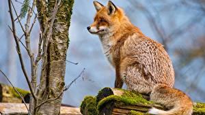 Image Foxes Sitting Animals