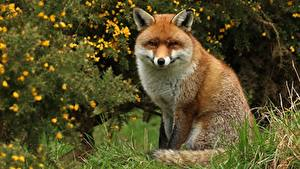 Wallpaper Foxes Sitting Animals