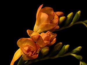 桌面壁纸,,小蒼蘭,特寫,黑色背景,橙色,花蕾,花卉
