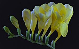 Bilder Freesien Großansicht Schwarzer Hintergrund Gelb Blumen