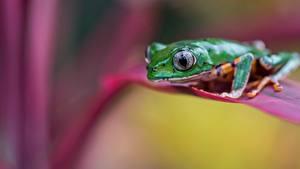 Hintergrundbilder Frosche Nahaufnahme Unscharfer Hintergrund ein Tier