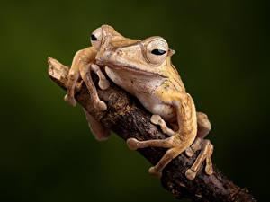 Fotos Frosche Hautnah Ast Borneo Eared Frog Tiere