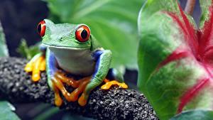 Fotos Frosche Augen Bokeh red-eyed treefrog Tiere