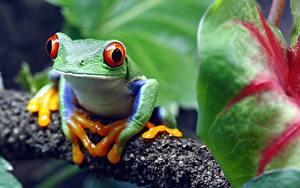 Desktop hintergrundbilder Frosche Augen Bokeh red-eyed treefrog Tiere