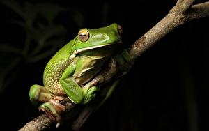Fotos Frosche Ast Grün White-lipped Tree frog Tiere